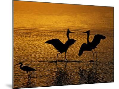 Silhouettes of Reddish Egrets Conduct Mating Dance in Gold-Colored Water-Arthur Morris-Mounted Photographic Print