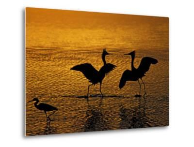 Silhouettes of Reddish Egrets Conduct Mating Dance in Gold-Colored Water-Arthur Morris-Metal Print