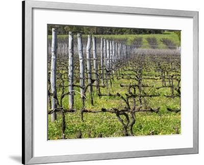 Vineyard in Cordon Royat, Bodega Pisano Winery, Progreso, Uruguay-Per Karlsson-Framed Photographic Print