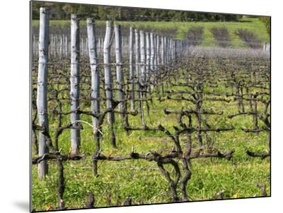 Vineyard in Cordon Royat, Bodega Pisano Winery, Progreso, Uruguay-Per Karlsson-Mounted Photographic Print