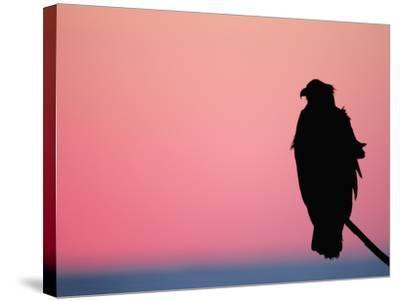 Bald Eagle Resting on Limb, Homer, Alaska, USA-Arthur Morris-Stretched Canvas Print