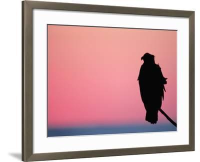 Bald Eagle Resting on Limb, Homer, Alaska, USA-Arthur Morris-Framed Photographic Print