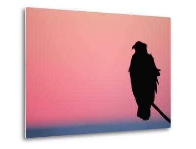 Bald Eagle Resting on Limb, Homer, Alaska, USA-Arthur Morris-Metal Print