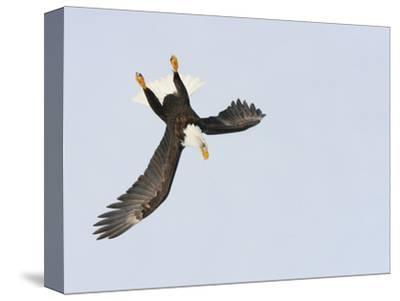 Bald Eagle Dive for Prey, Homer, Alaska, USA-Arthur Morris-Stretched Canvas Print