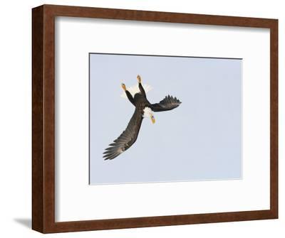 Bald Eagle Dive for Prey, Homer, Alaska, USA-Arthur Morris-Framed Photographic Print