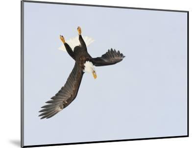 Bald Eagle Dive for Prey, Homer, Alaska, USA-Arthur Morris-Mounted Photographic Print