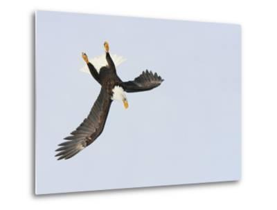 Bald Eagle Dive for Prey, Homer, Alaska, USA-Arthur Morris-Metal Print