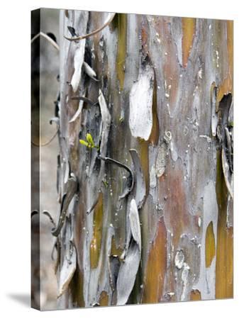 Texture and Patterns in Tree Near Sedona, Arizona, USA-Diane Johnson-Stretched Canvas Print