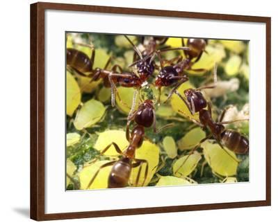 Close-up of Ants Harvesting Honeydew from Aphids, Lakeside, California, USA-Christopher Talbot Frank-Framed Photographic Print