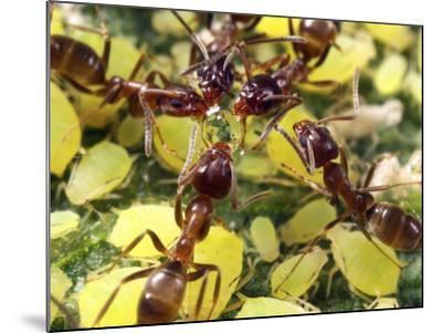 Close-up of Ants Harvesting Honeydew from Aphids, Lakeside, California, USA-Christopher Talbot Frank-Mounted Photographic Print