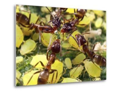 Close-up of Ants Harvesting Honeydew from Aphids, Lakeside, California, USA-Christopher Talbot Frank-Metal Print