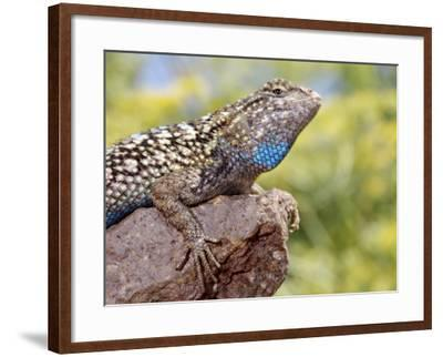 Close-up of Male Western Fence or Blue Belly Lizard, Lakeside, California, USA-Christopher Talbot Frank-Framed Photographic Print