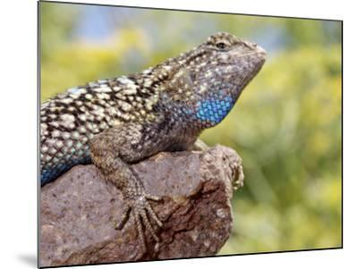 Close-up of Male Western Fence or Blue Belly Lizard, Lakeside, California, USA-Christopher Talbot Frank-Mounted Photographic Print
