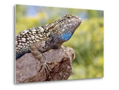 Close-up of Male Western Fence or Blue Belly Lizard, Lakeside, California, USA-Christopher Talbot Frank-Metal Print