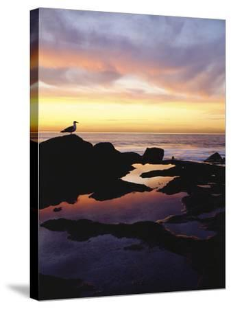 Seagull at Sunset Cliffs Tidepools on the Pacific Ocean, San Diego, California, USA-Christopher Talbot Frank-Stretched Canvas Print