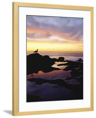 Seagull at Sunset Cliffs Tidepools on the Pacific Ocean, San Diego, California, USA-Christopher Talbot Frank-Framed Photographic Print