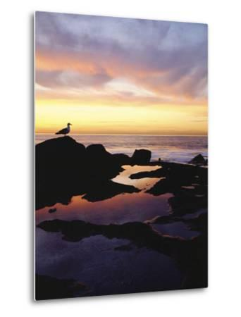 Seagull at Sunset Cliffs Tidepools on the Pacific Ocean, San Diego, California, USA-Christopher Talbot Frank-Metal Print