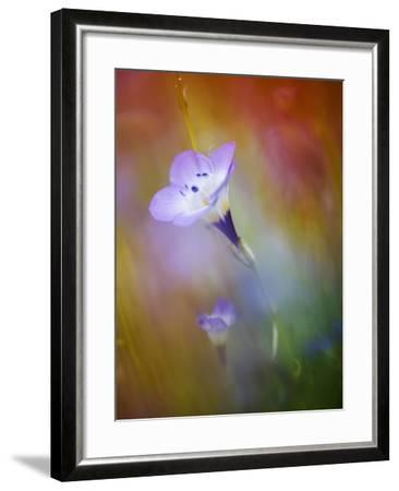 Abstract of Gilia Wildflowers, California, USA-Ellen Anon-Framed Photographic Print