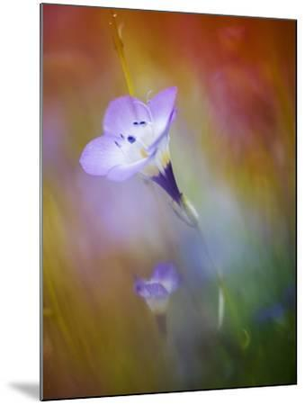 Abstract of Gilia Wildflowers, California, USA-Ellen Anon-Mounted Photographic Print