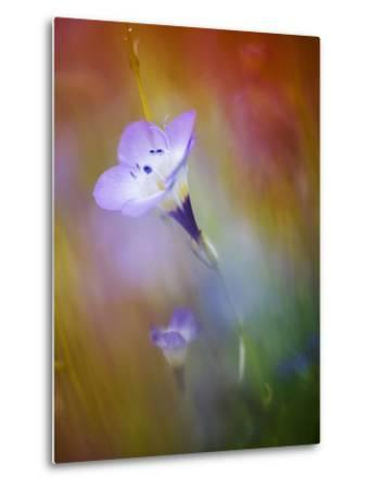 Abstract of Gilia Wildflowers, California, USA-Ellen Anon-Metal Print