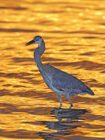 Great Blue Heron in Golden Water at Sunset, Fort De Soto Park, St. Petersburg, Florida, USA-Arthur Morris-Framed Photographic Print