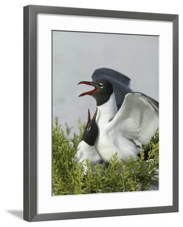 Laughing Gulls Mating, Egmont Key State Park, Florida, USA-Arthur Morris-Framed Photographic Print