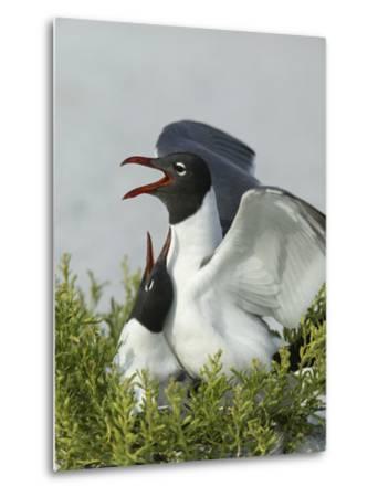 Laughing Gulls Mating, Egmont Key State Park, Florida, USA-Arthur Morris-Metal Print