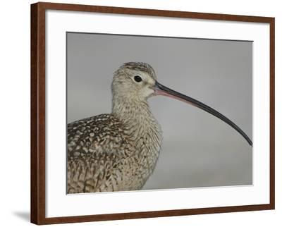 Portrait of Long-Billed Curlew at Fort De Soto Park, De Soto, Florida, USA-Arthur Morris-Framed Photographic Print