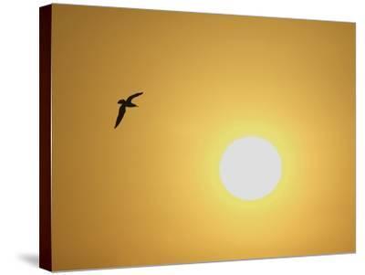 Silhouette of Flying Ring-Billed Gull at Sunrise, Merritt Island National Wildlife Refuge-Arthur Morris-Stretched Canvas Print