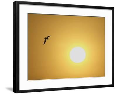Silhouette of Flying Ring-Billed Gull at Sunrise, Merritt Island National Wildlife Refuge-Arthur Morris-Framed Photographic Print