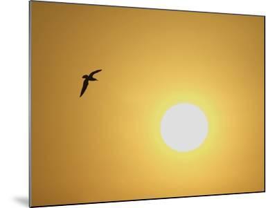 Silhouette of Flying Ring-Billed Gull at Sunrise, Merritt Island National Wildlife Refuge-Arthur Morris-Mounted Photographic Print