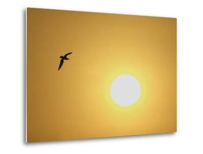 Silhouette of Flying Ring-Billed Gull at Sunrise, Merritt Island National Wildlife Refuge-Arthur Morris-Metal Print