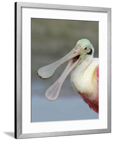 Portrait of Laughing Roseate Spoonbill with Bill Open, Fort De Soto Park, Florida, USA-Arthur Morris-Framed Photographic Print