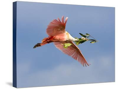 Roseate Spoonbill in Flight Carrying Nesting Material, Tampa Bay, Florida, USA-Jim Zuckerman-Stretched Canvas Print