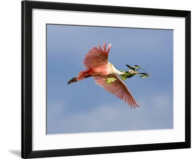 Roseate Spoonbill in Flight Carrying Nesting Material, Tampa Bay, Florida, USA-Jim Zuckerman-Framed Photographic Print