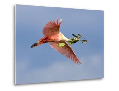 Roseate Spoonbill in Flight Carrying Nesting Material, Tampa Bay, Florida, USA-Jim Zuckerman-Metal Print