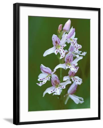 Close-up of Small Round-Leafed Orchis Orchids in Springtime, Upper Peninsula, Michigan, USA-Mark Carlson-Framed Photographic Print