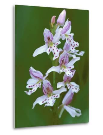 Close-up of Small Round-Leafed Orchis Orchids in Springtime, Upper Peninsula, Michigan, USA-Mark Carlson-Metal Print