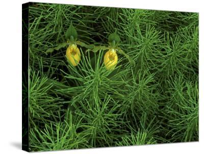 Pair of Yellow Lady's Slipper Orchids Amid Equisetum in Springtime, Upper Peninsula, Michigan, USA-Mark Carlson-Stretched Canvas Print