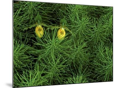 Pair of Yellow Lady's Slipper Orchids Amid Equisetum in Springtime, Upper Peninsula, Michigan, USA-Mark Carlson-Mounted Photographic Print