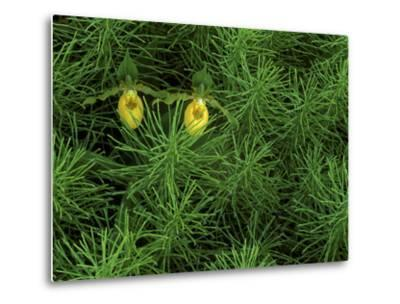Pair of Yellow Lady's Slipper Orchids Amid Equisetum in Springtime, Upper Peninsula, Michigan, USA-Mark Carlson-Metal Print