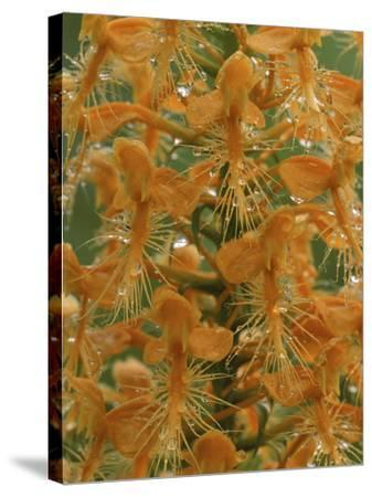 Close-up of Yellow Fringed Orchid with Dew in Summertime, Michigan, USA-Mark Carlson-Stretched Canvas Print