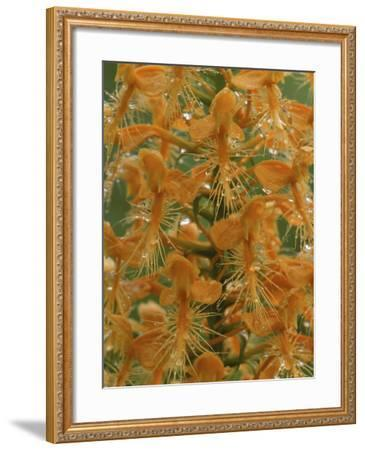 Close-up of Yellow Fringed Orchid with Dew in Summertime, Michigan, USA-Mark Carlson-Framed Photographic Print