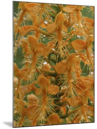 Close-up of Yellow Fringed Orchid with Dew in Summertime, Michigan, USA-Mark Carlson-Mounted Photographic Print