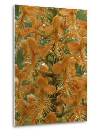 Close-up of Yellow Fringed Orchid with Dew in Summertime, Michigan, USA-Mark Carlson-Metal Print
