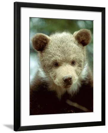 Rescued Grizzly Bear Cub, Montana, USA-Jim Zuckerman-Framed Photographic Print