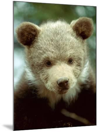 Rescued Grizzly Bear Cub, Montana, USA-Jim Zuckerman-Mounted Photographic Print