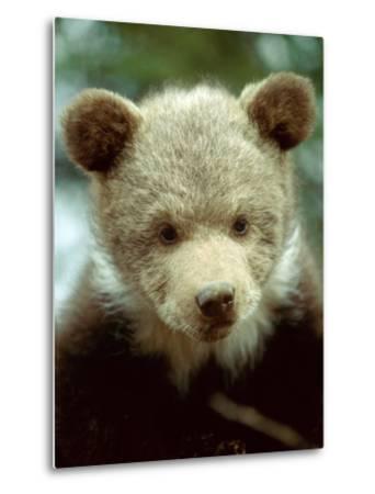 Rescued Grizzly Bear Cub, Montana, USA-Jim Zuckerman-Metal Print