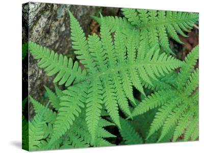 Long Beech Fern, White Mountains National Forest, Waterville Valley, New Hampshire, USA-Jerry & Marcy Monkman-Stretched Canvas Print