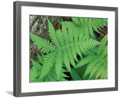 Long Beech Fern, White Mountains National Forest, Waterville Valley, New Hampshire, USA-Jerry & Marcy Monkman-Framed Photographic Print
